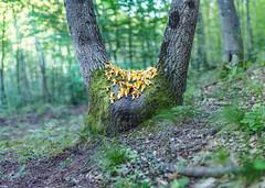 holy yellow (Francesco Ganzetti) Tags: trees light food green nature beautiful yellow forest mushrooms spring oak focus bokeh rays brenizer