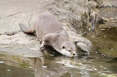 2016.03.23 - 1323.09 - NIKON D7000 - 100 (bigwhitehobbit) Tags: 2016 edinburghzoo family march otter