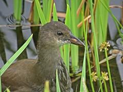 Adolescence (Bricheno) Tags: bird scotland escocia chick szkocja renfrew schottland moorhen scozia renfrewshire cosse  esccia   bricheno clydeviewpark scoia