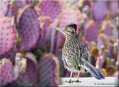 'what you wish for' (d-lilly) Tags: arizona phoenix greaterroadrunner arizonadesertbotanicalgarden