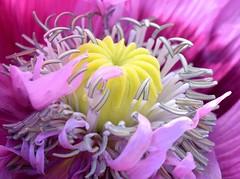 Wild poppy (cdwpix) Tags: wild summer church st purple yorkshire east solstice poppy peters holderness humbleton