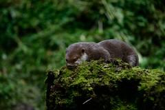 Otter-20160623-21s (Fatcat Al) Tags: en alan district derbyshire centre peak chapel le short frith otter chestnut castleton clawed minnis