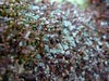 Normandina pulchella among liverworts (aburgh) Tags: blsfieldmeeting scotland isleofskye lichen corticolous foliose