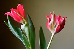FLOWERS FOR JULIA (La Branaro) Tags: flowers stilllife slr mamiya film austin restaurant texas dof tulips bokeh interior 35mmfilm tulip redtulips shallowdepthoffield valentinesflowers flowerstilllife nc1000s nc1000 34thstreetcafe lomo800 lomography800 lomocn800 mamiya50mmf17 34thcafe