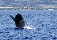 Humpback near Lahaina (Kai Eiselein) Tags: ocean sea wild animal mammal hawaii jump marine minolta pacific sony maui whale species endangered humpback lahaina amount 80200 breach hsg a700 novaeangliae megaptera