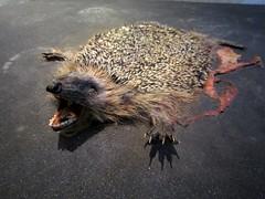 bettvorigler (Genista) Tags: museum flat hedgehog flattened platt igel überfahren naturkunde