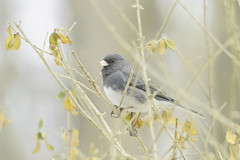 Dark-eyed Junco (affinity579) Tags: winter canada bird nikon quebec small shrub darkeyedjunco 70200mm 2xteleconverter specanimal d700