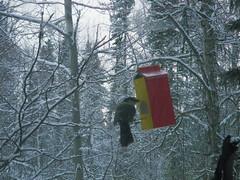 IMG 097.JPG (JennyHennyPenny) Tags: winter bird home alaska jay critter february talkeetna 2012 greyjay