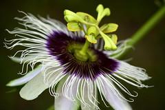 Beautiful floral (Deb Jones1) Tags: flowers flower macro nature floral beauty canon garden botanical outdoors flora bloom passionflower flickrduel debjones1