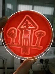 Micro chapel (Uka wonderland) Tags: plate chapel micro bacteria microbiology petri cereus colonies bacillus bcereus