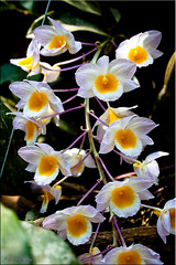 Orchids on the Border (Ursula in Aus (Away)) Tags: white orchid yellow thailand purple  prachuapkhirikhan  earthasia totallythailand dansingkhon