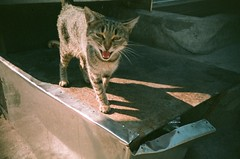 Chatty feral cat (KimpyWoo) Tags: film analog cat 35mm lomo lca lomography sarajevo bosnia 200iso 200 meow analogue expired 35mmphotography miaow expiredfilm filmphotography bosniaandherzegovina colorama 35mmcamera traditionalphotography vintagephotography