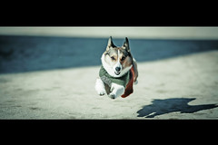 I Can Fly (moaan) Tags: dog fly flying jump jumping corgi memory utata cinematic welshcorgi recollection 2012 canoneos1ds pochiko thelittledoglaughed ef135mmf2lusm digitsl
