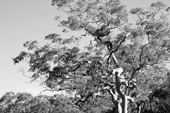 Ink (Typemutha) Tags: bw favorite white black tree art nature ink john painting ma photography photo search woods artist artistic top unique review champion picture award australia best professional most excellent species prize eucalyptus favourite popular voted highest outstanding viewed the rated reviewed prestigious darqhorse