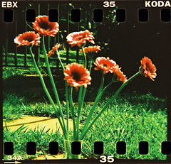 My Name Is Red (saviorjosh) Tags: flowers film 35mm back xpro kodak kenya nairobi toycamera sunny slide holes plastic diana f squareformat crossprocessing grasses 100 sprocket elitechromeextracolor ebx