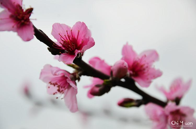 拉拉山水蜜桃花16.jpg