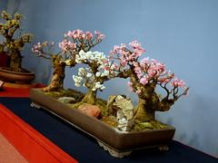 P1020996 (kansaikate) Tags: japan bonsai plumblossom nagahama bonbaiten