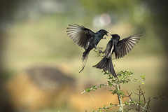 The Drongo Love  Happy Valentine's Day  (VinothChandar) Tags: india black bird love nature birds happy photo wings day play emotion affection photos action bokeh pics flight picture pic valen
