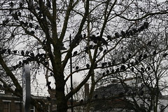 A congregation of London pigeons next to the taxi rank at Clapham Common tube station (pomphorhynchus) Tags: birds pigeons gwl guessedbyronaldhackston claphamcommontubestation