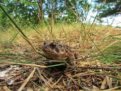Mr Frog (Dean Martin (Thirdeyepics)) Tags: wild grass animals set wildlife frog toad alive mammals simplyred simplyred4x4