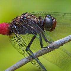 Just resting (Deb Jones1) Tags: park red nature beauty canon garden insect outdoors dragonfly australia bugs damselfly flickrduel debjones1