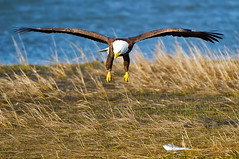 American Bald Eagle Fish Grab (Brian E Kushner) Tags: new bird birds animals lens flying inflight wings nikon king eagle wildlife flight baldeagle beak bald nj talon jersey brigantine f4 vr haliaeetusleucocephalus forsythe birdwatcher americanbaldeagle forsythenwr nikor 200400 vrii forsythenationalwildliferefuge d3s oceanville thewonderfulworldofbirds bkushner brianekushner nikond3s nikon200400mmf4gedifafsvrzoomnikkorlens