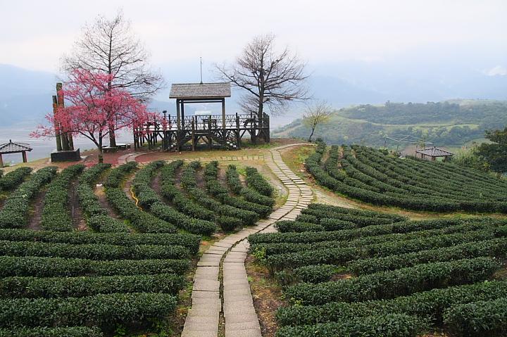 玉蘭茶園櫻花0002