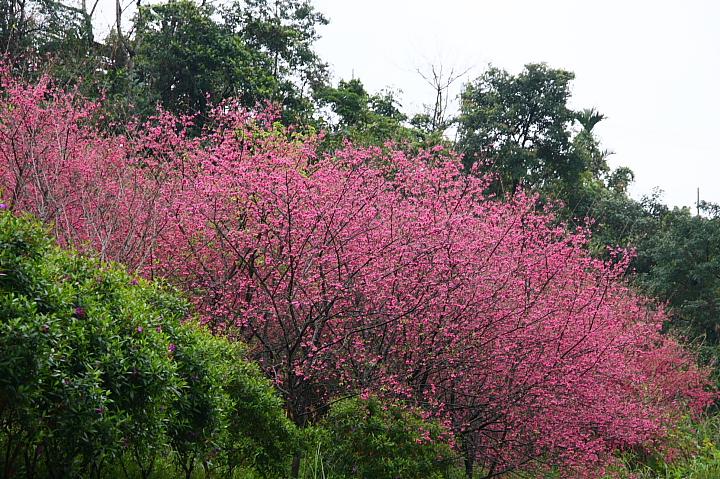 玉蘭茶園櫻花0021