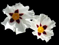 Flowers in Sunnyside Neighborhood (sandy richard) Tags: usa gardens oregon portland unitedstates sandyrichard sandrarichard