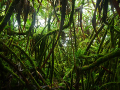 Dwarf Cloud Forest, Pohnpei, Micronesia (ebuechley) Tags: forest island rainforest scenery cloudforest tropics micronesia pohnpei ponape