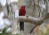 Crimson Rosella (Greg Miles) Tags: australia canberra act crimsonrosella platycercuselegans australiannationalbotanicgardens