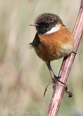 Stonechat (Saxicola torquatus) (M.D.Parr) Tags: uk england male bird english nature birds closeup britain ngc british essex ornithology birdwatcher rainham rspb stonechat saxicolatorquatus supershot specanimal avianexcellence naturethroughthelens paololivornosfriends coth5 martindparr mdparr sunrays5