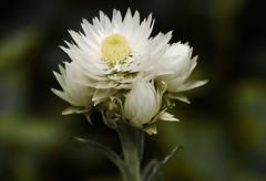 (daniel.frauchiger) Tags: china flower macro shangrila himalaya yunnan yubeng kawakarpo