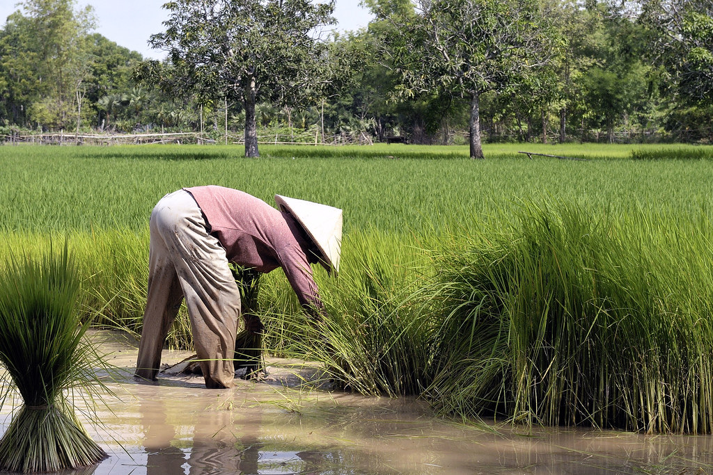 Travail dans la riziere