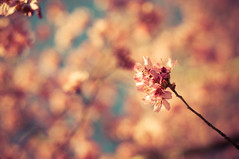 Winter Cherries 3 (Proleshi) Tags: pink flowers flores flower cherry 50mm spring pretty dof blossom bokeh jamal d300s 50mm14afs proleshi jamaljosephs