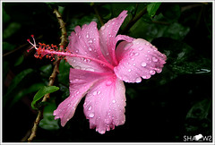 After Rain (Sh@dows) Tags: flower macro water rain photo droplets saturday kerala hibiscus raining waterdroplets firstshots afterrain thrissur shdows sarin   pinkhibiscus olympuz rainingseason sarinsoman keralarain  nizhal   oldisglod