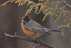 American Robin, posing (dbifulco) Tags: robin birds backyard american