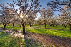 Chico Light. (Nick / KC7CBF) Tags: california morning flowers trees light sun spring almond orchard bloom flowering rays chico northern 2012 blooming