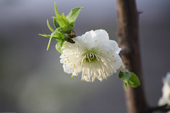 IMG_2375.jpg (dcstrebe) Tags: china asia plumblossomfestival