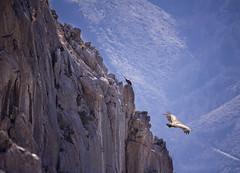 Vuelos (khuasi) Tags: libertad asturias montaas vuelos majestuosocomocondor