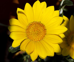Daisy (Panayotis1) Tags: flowers macro canon greece daisy plantae asteraceae osteospermum  asterales  imathia aggelochori  canonef100mmf28lmacroisusm  kenkopro300afdgx14x
