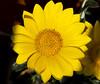 Daisy (Panayotis1) Tags: flowers macro canon greece daisy plantae asteraceae osteospermum λουλούδια asterales μαργαρίτα imathia aggelochori ημαθία canonef100mmf28lmacroisusm αγγελοχώρι kenkopro300afdgx14x