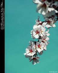 Flores de Amendoeira / almond blossom (Transmontano) Tags: tree portugal photoshop vilaflor xoox transmontano ilustrarportugal addvf portugalmagico