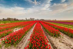 5DMII_20120429_0011.jpg (Ton Drijfhamer) Tags: tulpen tulp bollenveld zijldijk