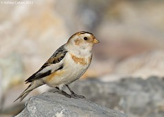 Snow Bunting - Surprise Find (Ashley Cohen Photography) Tags: bird nature wildlife small britishwildlife rhosonsea snowbunting northwales unitedkingdomuk canoneos7d canon14xextendermk2 sigma120300mmf28exdgoshsm