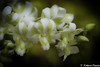 All of Me (_Natasa_) Tags: flowers white orchid green love closeup canon happy singapore dof bokeh resort sentosa sentosaisland nationalorchidgarden canoneos7d canonef100mmf28lmacroisusm mygearandme natasaopacic natasaopacicphotography infinitexposure
