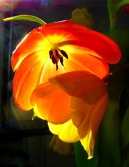 For my sister, Judy (peggyhr) Tags: blue friends light orange white canada black green sunshine yellow vancouver shadows bc purple tulips backlit crmedelacrme thegalaxy 50faves peggyhr heartawards peaceawards 100commentgroup mygearandme ringexcellence blinkagain level1photographyforrecreation redgroupno1 infinitexposure p1070656ab