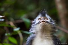 Thomas Leaf Monkey 4708 (Ursula in Aus) Tags: animal sumatra indonesia monkey unesco bukitlawang gunungleusernationalpark earthasia sumatrangrizzledlangur thomasslangur presbytisthomasi thomasleafmonkey