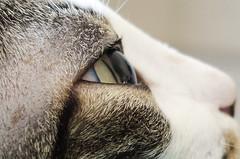 Olho de gato, olhar felino (felipe sahd) Tags: city cidade cats brasil gatos olhos fortaleza ceará felinos
