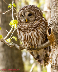 Barred Owl (mikerhicks) Tags: usa bird birds geotagged spring unitedstates nashville hiking tennessee wildlife barredowl percywarnerpark warnerparks canon7d nashvillehikingmeetup vaughnsgap sigma18250mmf3563dcmacrooshsm geo:lat=3607293261 geo:lon=8687726498